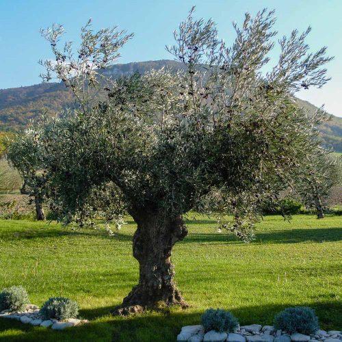 Plantation d'un olivier